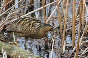 Bittern. Credit: Nick Stacey
