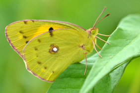 Clouded yellow butterfly. Credit: Nick Edge