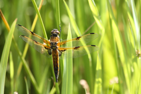 Four spotted chaser dragonfly. Credit: Dion Warner