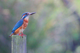 Kingfisher. Credit: Nick Stacey