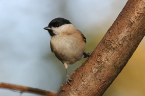 Marsh Tit. Credit: Nick Stacey