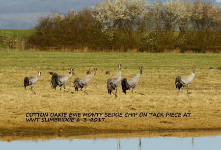 Monty, Sedge, Oakie, Cotton, Evie and Chip at WWT Slimbridge