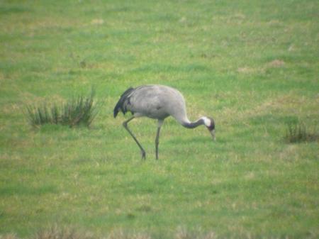 The Wild Crane!