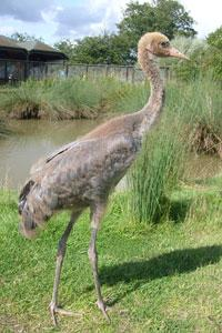 Growing crane. Credit: WWT