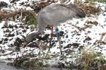 Bart - Jan 2011 foraging along the banks of the Sowy River -