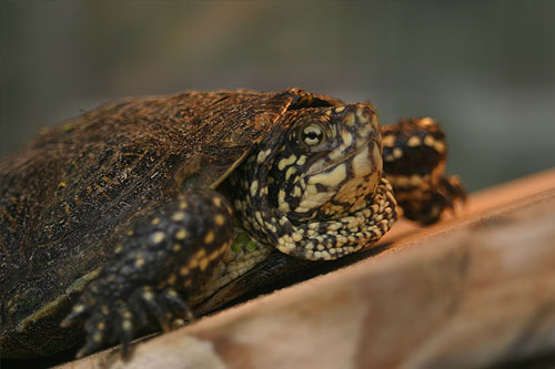 Close up photo of an adult terrapin with eyes open