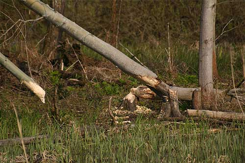 signs of beaver activity on trees