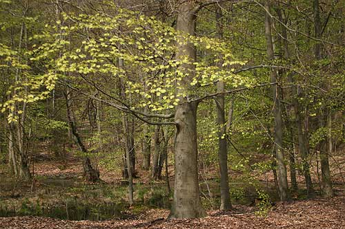 Young beech trees coming into leaf in the forest