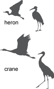 crane and heron identification