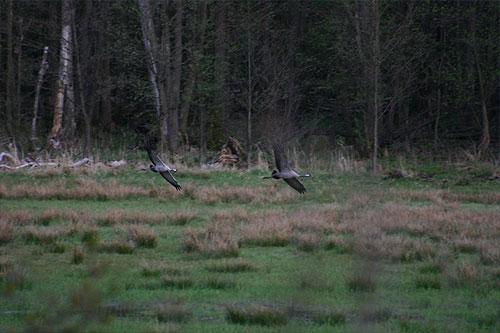 Cranes coming into land