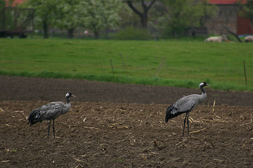 cranes feeding in a maize field