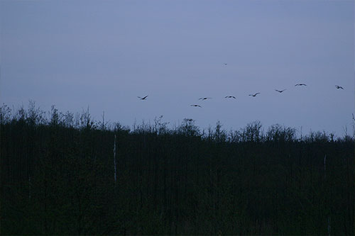 cranes coming into land at the roost site