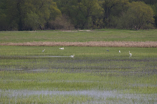Great white egrets with grey herons feeding in the Oder marsh lands