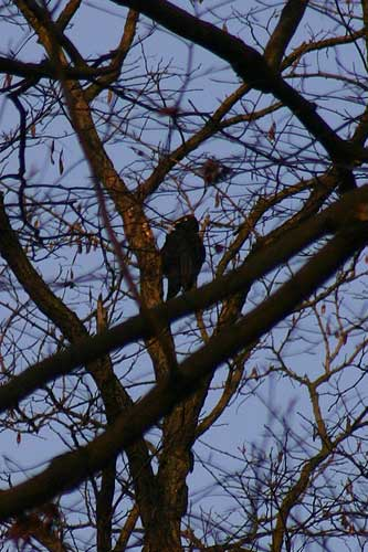 Record of first black woodpecker