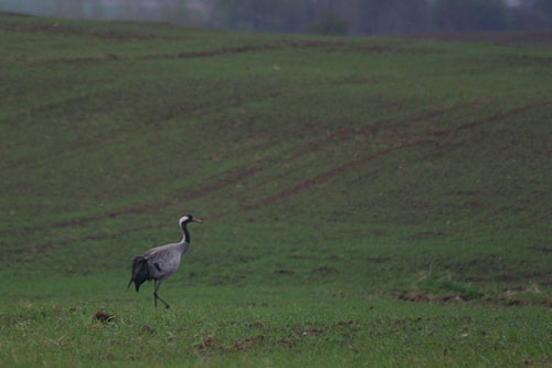 view of a polish crane in the field
