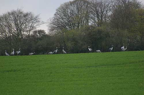 young cranes in the field